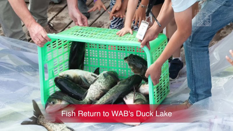 Fish Return to WAB's Duck Lake_Sep 17, 2018