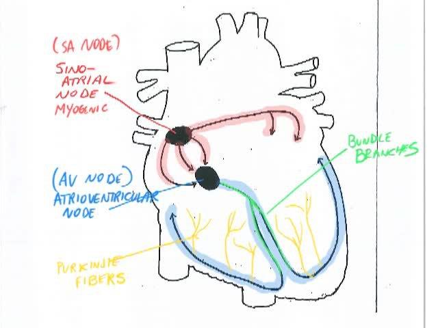 Cardiac Cycle Target